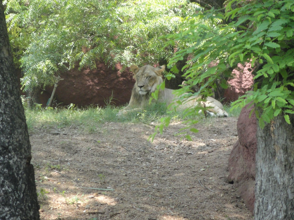 शेर तो शेर ही होता है